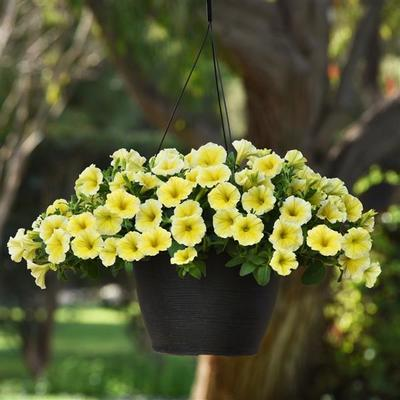 Petunia Bees Knees Hanging Basket